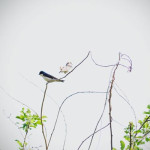 """Purple Martins"", photograph. (c)Catherine Fennelly."