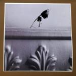"""The Dead Rose Cobweb Affair 2"", photograph. (c)Colleen Surprise Jones."