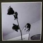 """The Dead Rose Cobweb Affair 3"", photograph. (c)Colleen Surprise Jones."