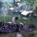 """Australian Swans"", photograph. (c)Walter A. Stankiewicz."