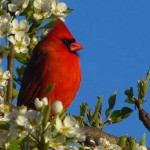 """Spring Cardinal"", photograph. (c)Debbie Storie."