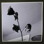 """The Dead Rose Cobweb Affair 3"", photograph. (c)Colleen Surprise Jones."