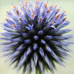 """Globe Thistle"", photograph. (c)Cheryl Sacks."